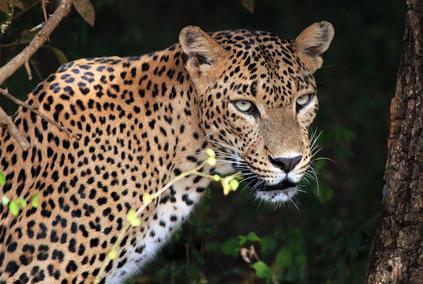 Leopardo del Parque Yala, Sri lanka